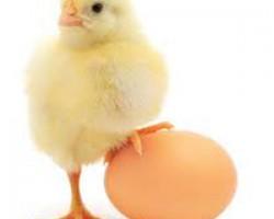 تخممرغ یا تخم پرندگان؟