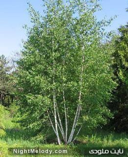 درخت غان برای خوش اندامی