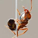فواید روغن مورچه