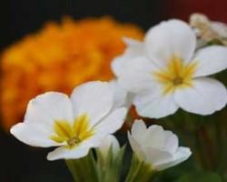گل پامچال برای پوست مفید است