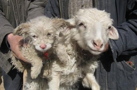 گوسفند، توله سگ زائید