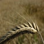 خواص گندم سیاه یا چاودار