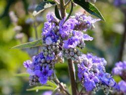 گیاه پنج انگشتی، یکی از بهترین گیاهان برای سلامت زنان