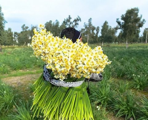 دانستنی های لازم برای نگهداری از گل نرگس