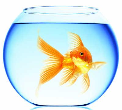 دانستنی هایی راجب ماهی قرمز شب عید