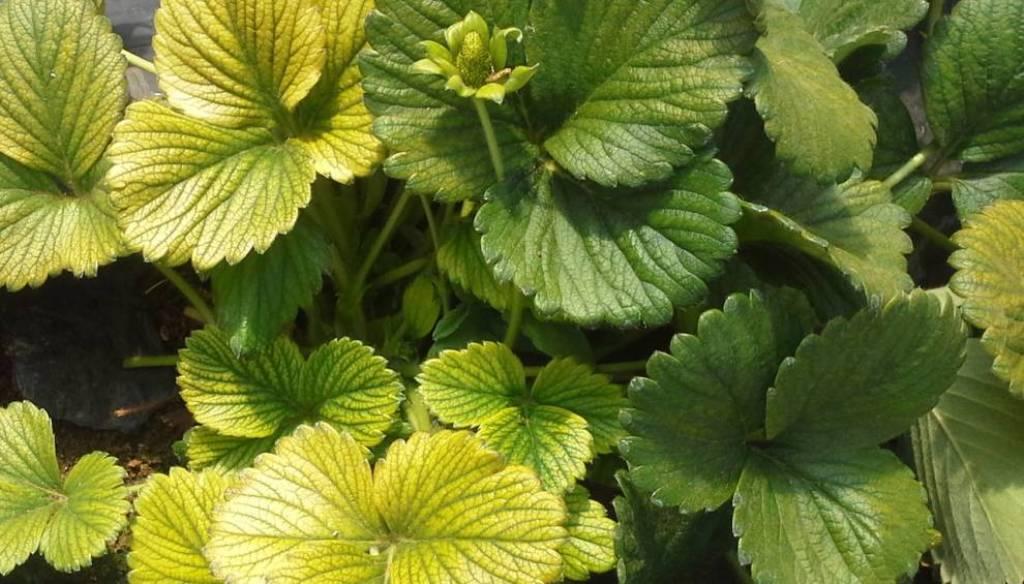 زرد شدن گل و گیاهان به چه علت است؟
