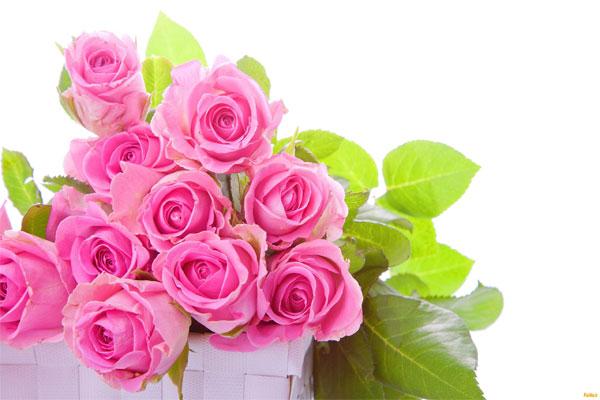 گل محمدی گیاهی چندساله از جنس رزا (Rosa) و خانواده Rosaceae که دارای گل های زیبایی در رنگ های بسیار متنوع بیشتر قرمز و صورتی هستند و از آن گلاب می گیرند. اکثر گونه های آن بومی آسیا، و بعضی گونه ها بومی اروپا، شمال آمریکا و شمال غرب آفریقا می باشند.