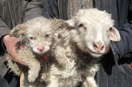 گوسفندی که توله سگ زایید!