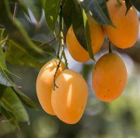 آموزش چگونگی کاشتن و نگهداری از میوه ی انبه..!